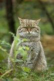 Scottish wildcat, Felis silvestris Royalty Free Stock Photos