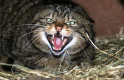 Scottish wildcat,  Felis silvestris Royalty Free Stock Image