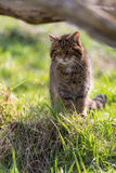 Scottish Wildcat Stock Photo