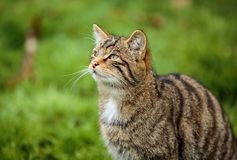 The Scottish wildcat or Highlands tiger up close. The Scottish wildcat, or Highlands tiger, is a dark coloured subspecies of the European wildcat native to royalty free stock photography