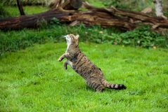 The Scottish wildcat or Highlands tiger jumping to grab prey stock photos