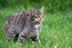 Scottish Wildcat Stock Image