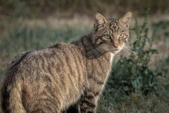 Scottish wildcat portrait. A close up photograph of a Scottish wildcat with its head turned looking backwards. It is staring into the distance and although stock photography