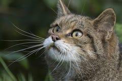 Scottish wildcat portrait Stock Image