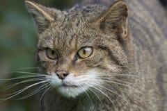 Scottish wildcat portrait Royalty Free Stock Photo