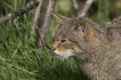 Scottish wildcat portrait Stock Photo