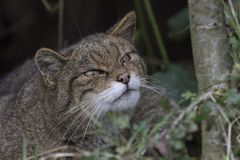 Scottish wildcat portrait royalty free stock photo