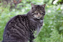 Scottish Wildcat from Scotland Royalty Free Stock Image