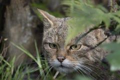 Scottish wildcat portrait Stock Photography