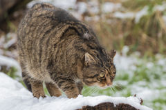 Scottish Wildcat on Tree Branch with Snow. Stock Photography