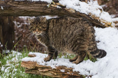 Scottish Wildcat on Tree Branch with Snow. Royalty Free Stock Photo