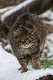 Scottish Wildcat on Tree Branch with Snow. Royalty Free Stock Image