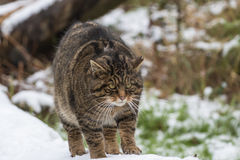 Scottish Wildcat on Tree Branch with Snow. Royalty Free Stock Photos