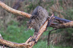 Scottish Wildcat walking along a branch Royalty Free Stock Image