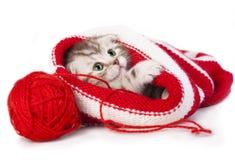 Scottish young kitten Royalty Free Stock Image