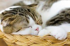Scottishfalten-Katzenschlaf Stockfoto