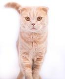 Scottishfaltenkatze, die gerade geht und schaut Stockbilder