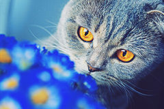Scottish falten die Katze mit großen gelben Augen blaue Blumen schnüffelnd Stockfoto