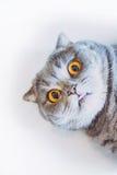 Scottishfaltenkatze mit der Zunge Lizenzfreies Stockbild