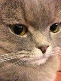 Scottishfaltenkatze mit großen orange Augen Stockbilder