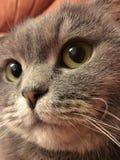 Scottishfaltenkatze mit großen orange Augen Lustiger Katzenaufkleber Stockfotografie