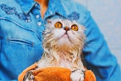 Scottishfaltenkatze nach harter Wäsche stockfotos