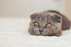 Scottishfold kitten hunting Stock Images