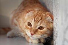 The scottishfold kitten hunts Stock Photos