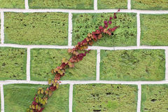 Scourge of wild grapes with red leaves on a stone wall. Scourge of wild grapes with red leaves on a green stone wall Stock Photos