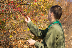 Scout checking autumn berries on a bush Royalty Free Stock Image