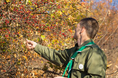 Scout collecting red berries off a bush Royalty Free Stock Images