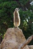 Scout de Meerkat sur une roche Photo libre de droits