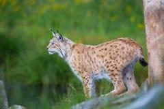 Scout fier de lynx pour la proie Photos stock