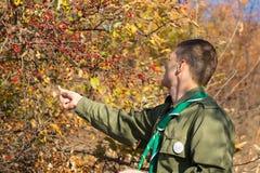 Scout som samlar röda bär av en buske royaltyfria bilder