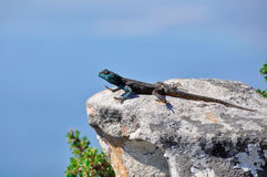 Scouting. A lizard looking out from Table Mountain, Cape Town, South Africa Royalty Free Stock Image