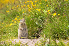 Scouting caucasian Ground Squirrel. Close up Scouting Caucasian ground squirrel carefully watching stock image