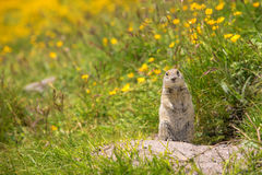 Scouting caucasian Ground Squirrel. Close up Scouting Caucasian ground squirrel carefully watching royalty free stock images