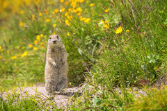 Scouting caucasian Ground Squirrel. Close up Scouting Caucasian ground squirrel carefully watching stock photos