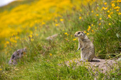 Scouting caucasian Ground Squirrel. Close up Scouting Caucasian ground squirrel carefully watching stock photography
