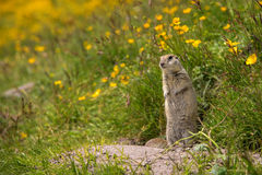 Scouting caucasian Ground Squirrel. Close up Scouting Caucasian ground squirrel carefully watching stock images