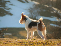 Scouting fox terrier. A wire fox terrier watching and listening with one ear Stock Images