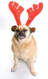 Scowling Christmas Dog Stock Images