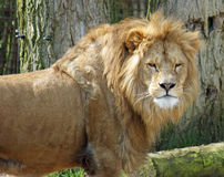 Scowls короля льва на фотографе Стоковое Изображение RF