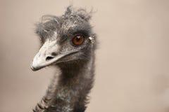 Scraggly head emu bird. Funny emu bird with uncombed hair Stock Photography