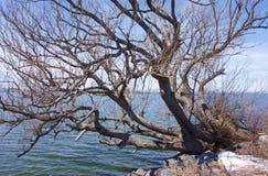 Scraggly Jeziorny drzewo Zdjęcie Royalty Free