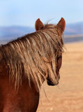 Scraggly Mane. Back of head shot of wild horse with red coat and scraggly tangled blonde mane looking away with great plains as background stock photo
