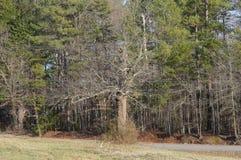 Scraggly Stary drzewo w jardzie obrazy stock
