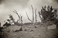 Scraggly träd uppe på ett berg Arkivbilder