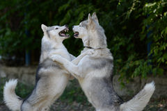 Scramble two dogs - equal contenders Royalty Free Stock Photos