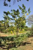 Scrambled egg tree (Cassia surattensis) Stock Photography
